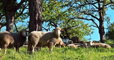 sheep-1335528_640