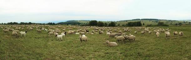 sheep-1563110_640