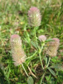 trifolium-arvense-848683_640