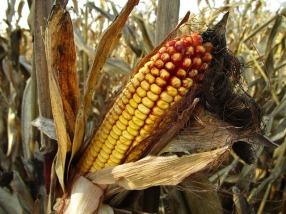 corn-1794085_640