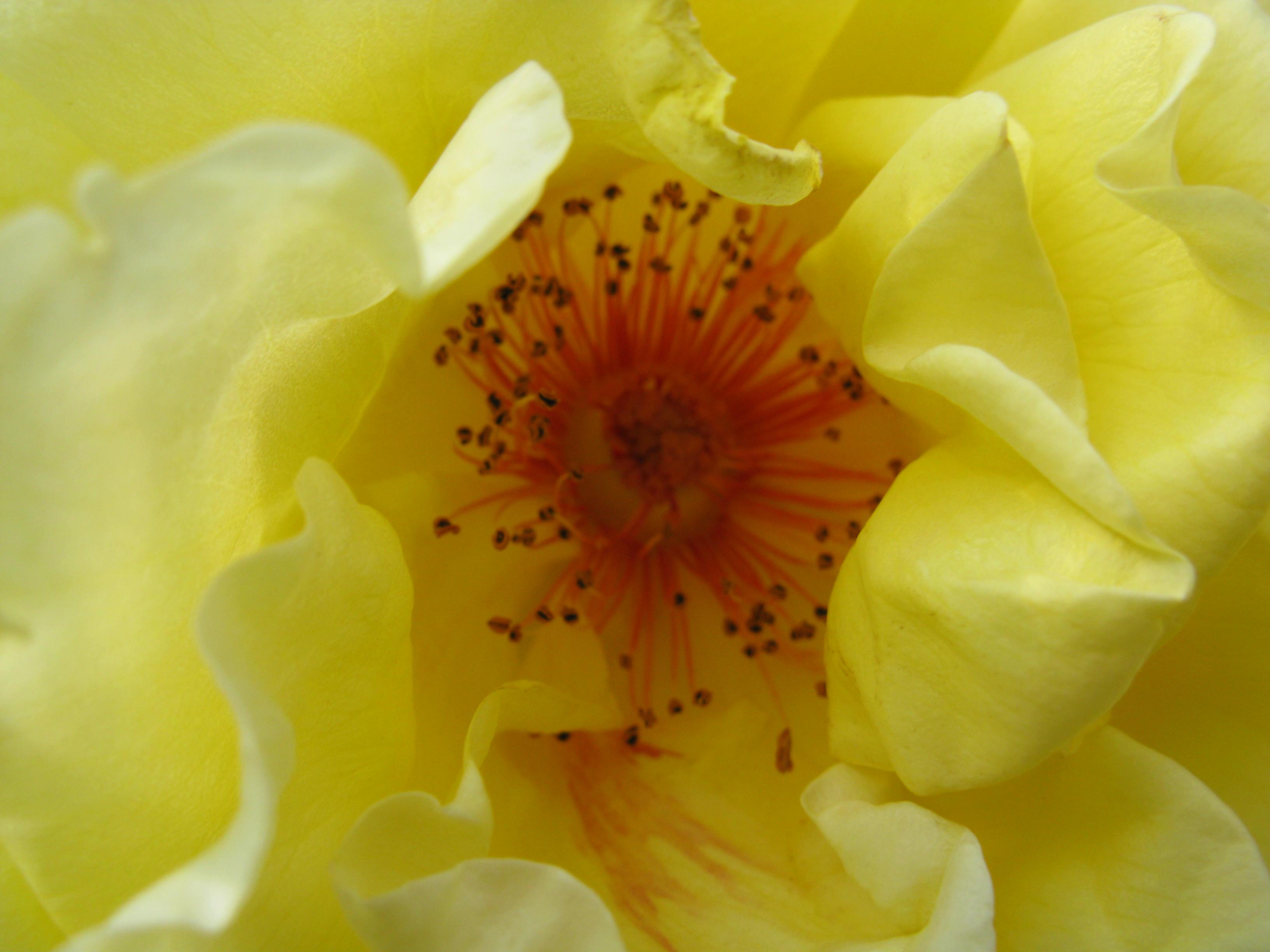 eine rose ist eine rose ist eine rose und hat mehr. Black Bedroom Furniture Sets. Home Design Ideas