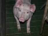 piglet-11244_640