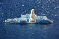 polar-bear-2199534_640