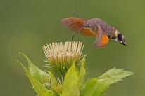 hummingbird-hawk-moth-889807_640