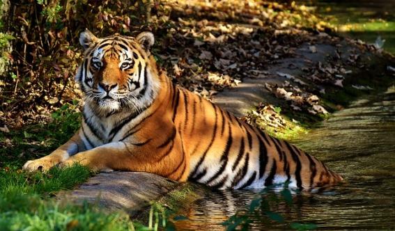 tiger-3039433_640
