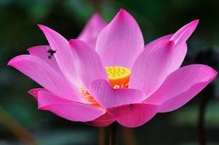 lotus-1688896_640