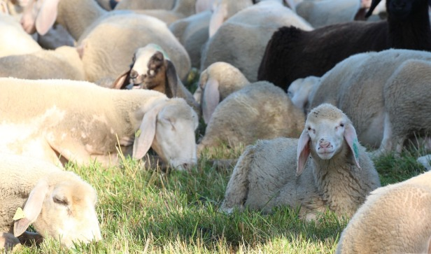 sheep-heads-2517469_1280