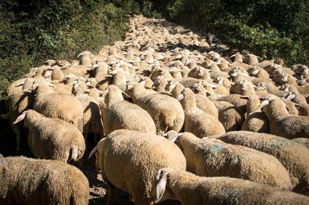 sheep-3691190_1280