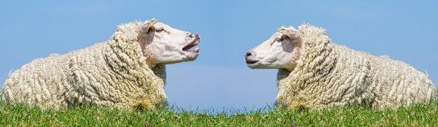 sheep-3557445_1280