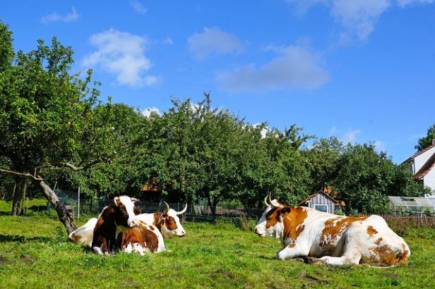 cow-2790134_640