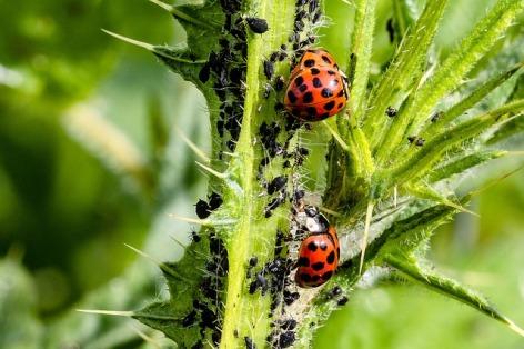 ladybug-3478620_640