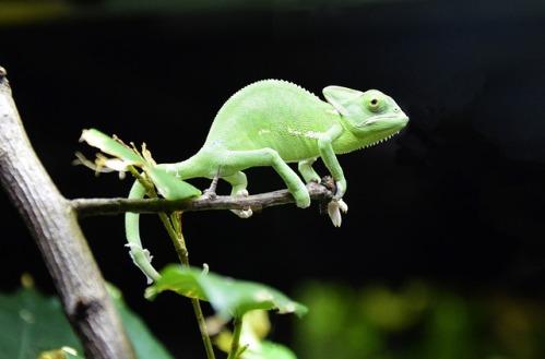 chameleon-1385578_640