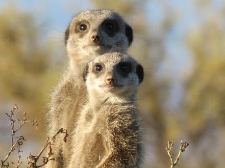 meerkat-255564_1280