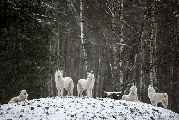 polarwolf-4686720_640