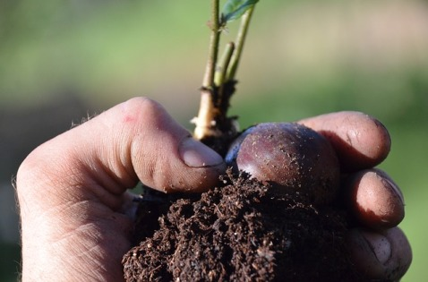 chestnut-seedling-3384304_640