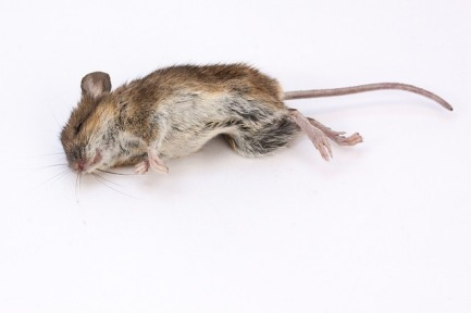 mouse-350059_640
