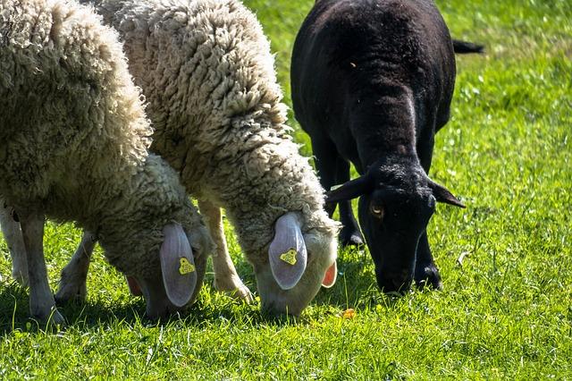 sheep-4152632_640